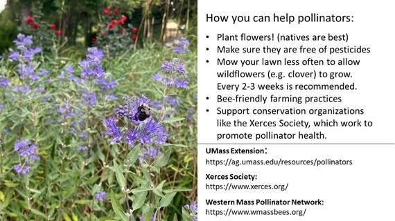 How you can help pollinators: Plant flowers! (natives are best) Make sure they are free of pesticides Mow your lawn less often to allow wildflowers (e.g. clover) to grow. Every 2-3 weeks is recommended Bee-friendly farming practices support conservation organizations like the Xerces Society, which will work to promote pollinator health  Links to Xerces Society, UMass extension, and western mass pollinator network are below the image